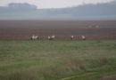 Le retour des cigognes à Ondreville